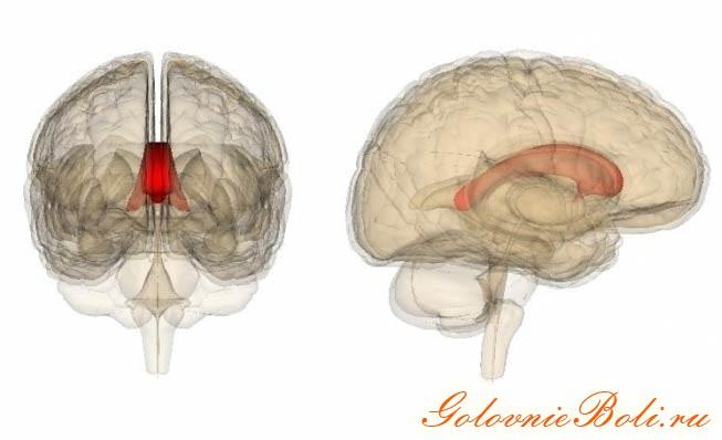 3d изображение мозолистого тела