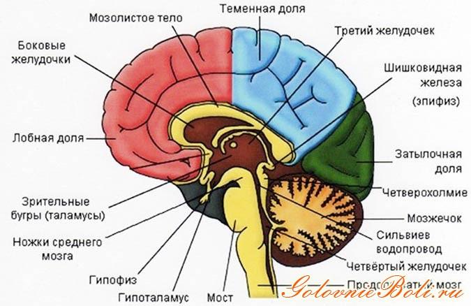 мозолистое тело строение мозга